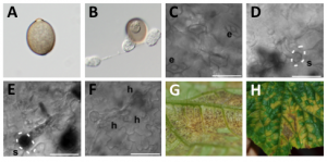 Project_Cucurbit Downy Mildew_1